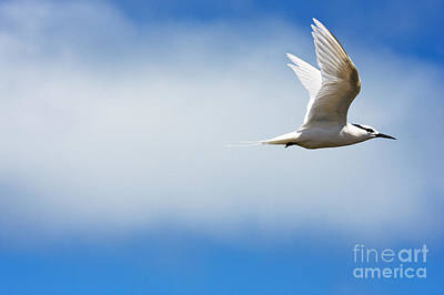 Profile Of Tern Art Print by Dave Fleetham - Printscapes