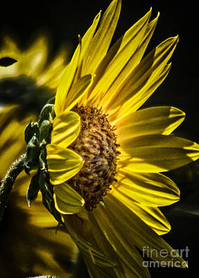 Photograph - Profile Of The Sunflower by Toma Caul