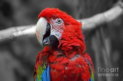 Photograph - Profile Portrait Of A Parrot Iv by Jim Fitzpatrick