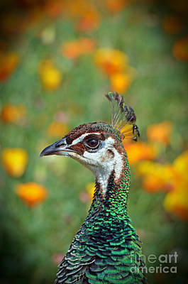 Photograph - Profile Portrait Of A Peacock by Jim Fitzpatrick