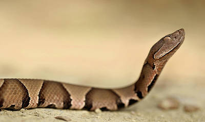 Photograph - Profiling A Copperhead by Kyle Findley