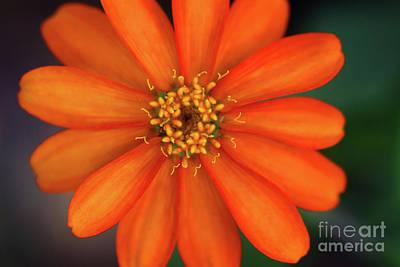 Photograph - Profusion Orange Zinnia by Karen Adams