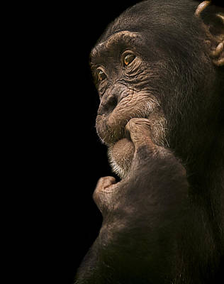 Chimpanzee Photograph - Promiscuous Girl by Paul Neville