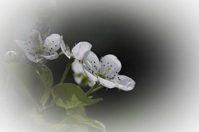 Photograph - Promise Of Pears by Judy Hall-Folde
