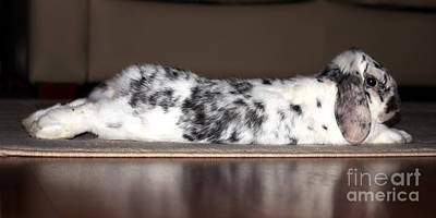 Photograph - Prone Bunny by Terri Waters