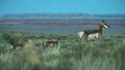 Photograph - Pronghorn American Antelope Goblin Valley Utah by Lawrence S Richardson Jr