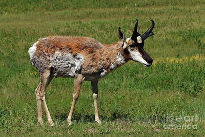 Photograph - Pronghorn Antelope by Christiane Schulze Art And Photography