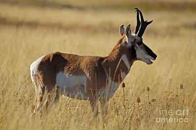Photograph - Pronghorn Antelope by Cindy Murphy - NightVisions