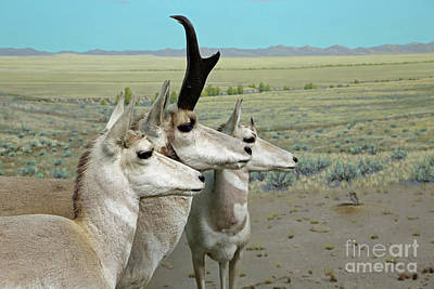 Photograph - Pronghorn Antelope Diorama by Kevin McCarthy