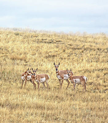 Photograph - Pronghorn Antelope Family Montana by Jennie Marie Schell