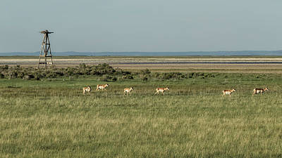 Photograph - Pronghorn Antelope In A Field by Belinda Greb