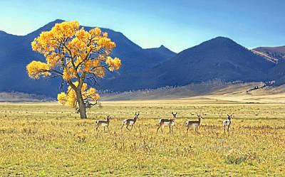 Photograph - Pronghorn Antelope Montana by Jennie Marie Schell