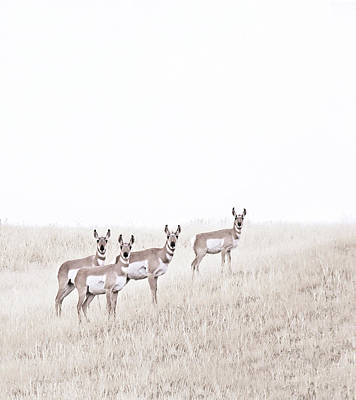 Photograph - Pronghorn Antelopes On The Prairie by Jennie Marie Schell