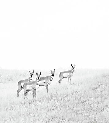 Photograph - Pronghorn Antelopes On The Prairie Monochrome by Jennie Marie Schell