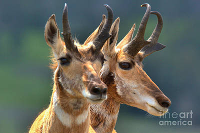 Photograph - Pronghorn Antelope Pair by Adam Jewell