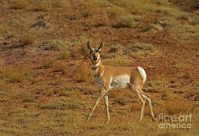 Photograph - Pronghorn Antelope-signed-#8262 by J L Woody Wooden
