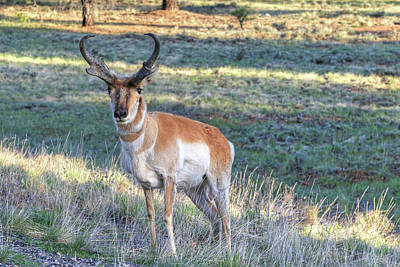Photograph - Pronghorn At Bryce by Donna Kennedy