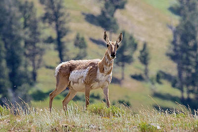 Photograph - Pronghorn At Lamar Valley by Phil Stone