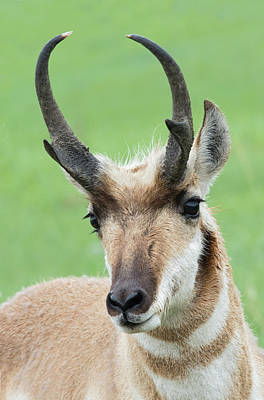 Photograph - Pronghorn Buck by Jim Zablotny