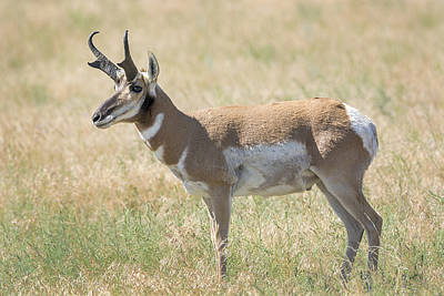 Photograph - Pronghorn Buck by Loree Johnson