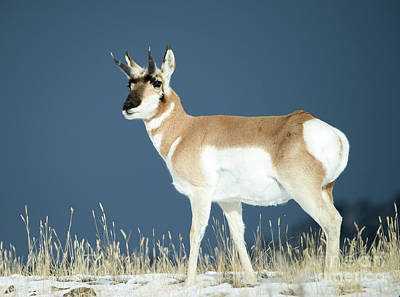 Photograph - Pronghorn by Deby Dixon