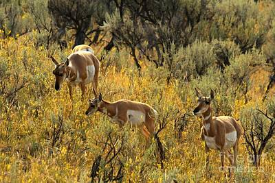 Photograph - Pronghorn Family by Adam Jewell