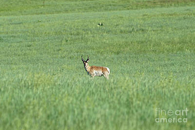 Photograph - Pronghorn In A Sea Of Green by Bill Gabbert