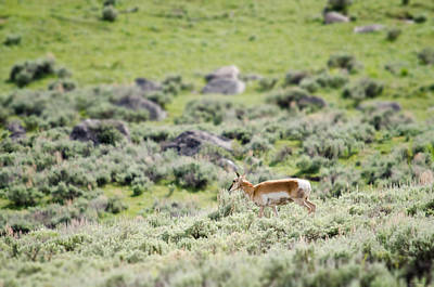 Photograph - Pronghorn In Yellowstone by Crystal Wightman