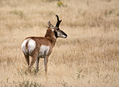 Photograph - Pronghorn by Linda Shannon Morgan