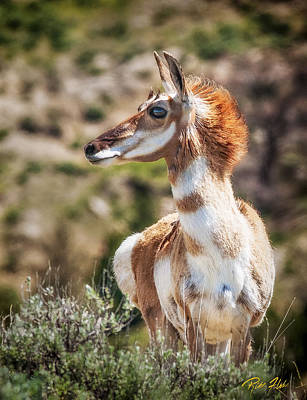 Photograph - Pronghorn Mother by Rikk Flohr