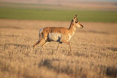 Photograph - Pronghorn On The Horse Heaven Hills by Lynn Hopwood