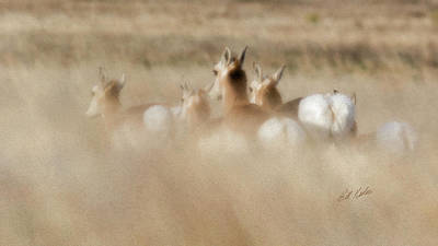 Photograph - Pronghorn On The Run by Bill Kesler