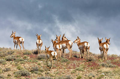 Photograph - Pronghorn On The Summit by Kathleen Bishop