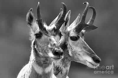 Photograph - Pronghorn Pair Black And White by Adam Jewell
