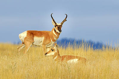 Photograph - Pronghorn Pair by Jack Bell