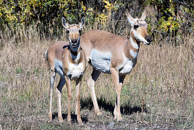 Photograph - Pronghorn Pair by Kathleen Bishop