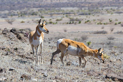 Photograph - Pronghorn Pair by SR Green