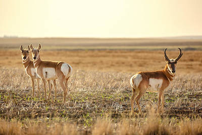 Photograph - Pronghorn Pose by Todd Klassy