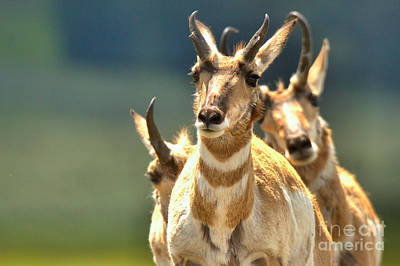 Photograph - Pronghorn Trio by Adam Jewell