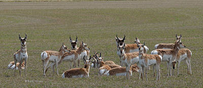 Pronghorns On Alert Art Print by Kae Cheatham