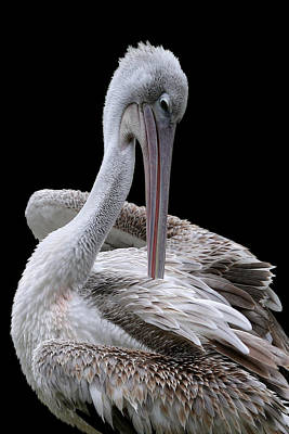 Photograph - Prospecting - Pelican by Debi Dalio