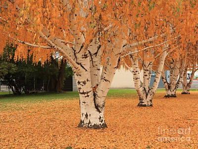 Of Autumn Photograph - Prosser - Autumn Birch Trees by Carol Groenen