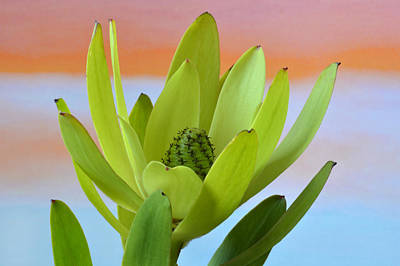 Photograph - Protea Gold Strike. by Terence Davis