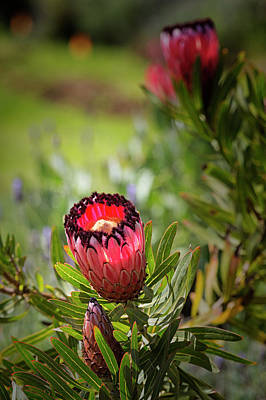 Photograph - Protea Neriifolia by Randy Hall