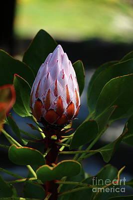 Protea Or Sugarbush Art Print