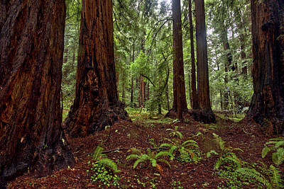 Photograph - Protectors, Muir Woods by Josephine Buschman