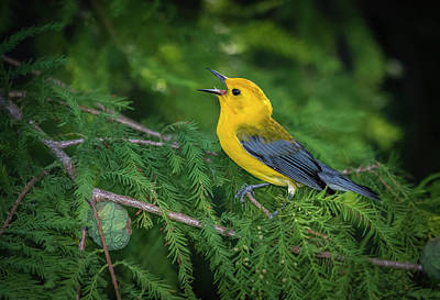Photograph - Prothonatory Warbler 9809 by Donald Brown