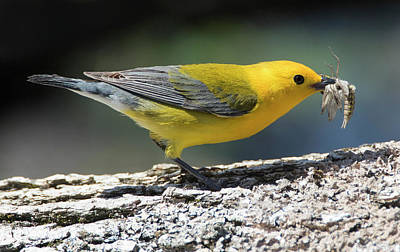 Photograph - Prothonotary Fiber by Art Cole