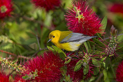 Photograph - Prothonotary Warabler by Kathy Adams Clark