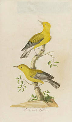 Drawing - Prothonotary Warbler by John Abbot